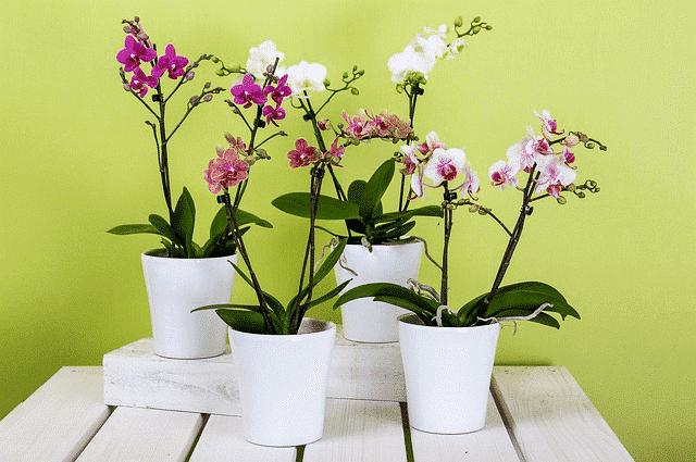 orchids phalaenopsis flower